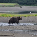 Alaska Peninsula Coastal Brown Bear
