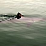 A rare Salmon Shark sighting in Nakalilok Bay