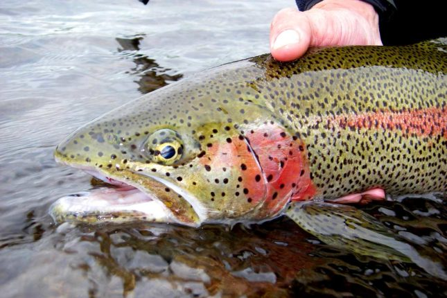 Fly Fishing for Trout in Bristol Bay